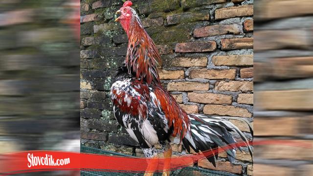 Fakta Terunik Mengenai Ayam Tarung