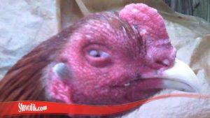 Ini Tips Untuk Sembuhkan Mata Ayam Tarung S128