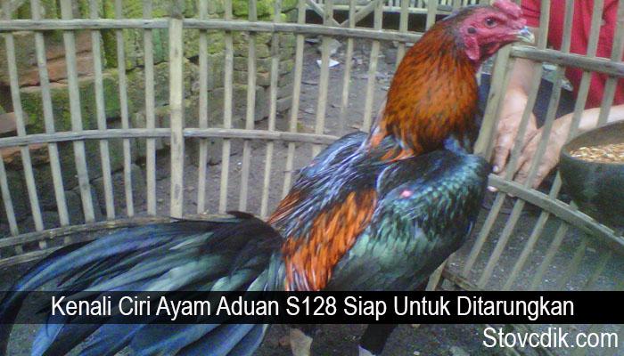 Kenali Ciri Ayam Aduan S128 Siap Untuk Ditarungkan