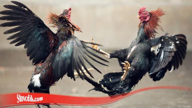 Latihan Tingkatkan Mental Ayam S128