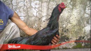 Mengenali Brewok Ayam Jago S128