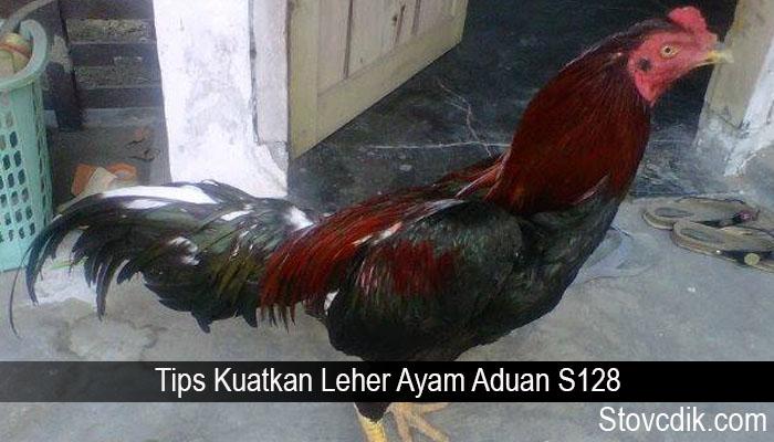 Tips Kuatkan Leher Ayam Aduan S128