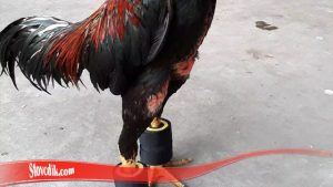 rahasia pukulan ayam mematikan, rahasia melatih ayam pukul mati, cara melatih ayam petarung biar kuat, cara melatih pukulan ayam supaya keras dan cepat, supaya kaki ayam keras, cara melatih rahasia melatih ayam pukul mati, melatih pukulan ayam agar akurat, cara membuat barbel ayam dari barang bekas, cara membuat barbel ayam dari karet ban, harga barbel ayam 400 gram, dampak negatif penggunaan barbel pada ayam aduan, harga barbel ayam 500 gram, pakan ayam pukul, cara melatih pukulan mematikan, penyebab pukulan ayam hilang, cara merawat ayam tipe pukul, ayam petarung biar kuat,