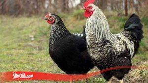 Semua Fakta Terunik Tentang Ayam